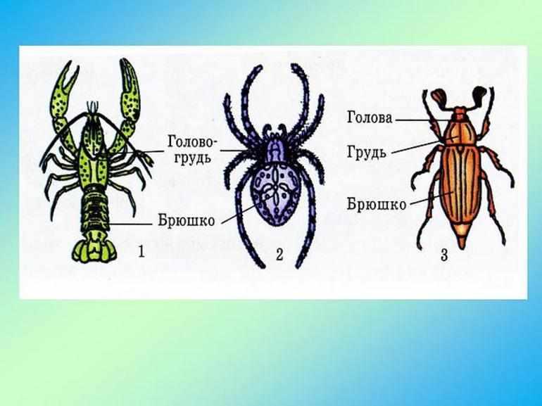 покров тела паукообразных головогрудь и брюшко