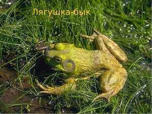 Жаба - представитель земноводных животных