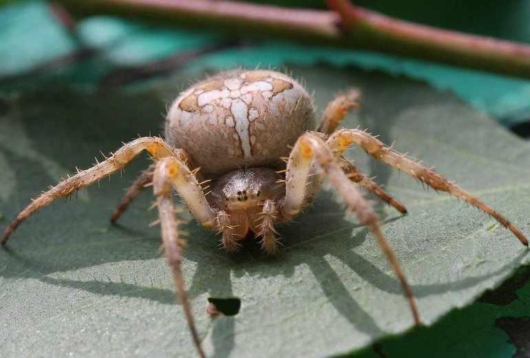 Отделы тела у паукообразных кратко