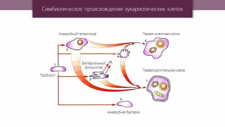 Симбиотическая теория происхождения