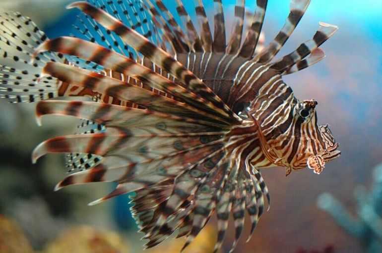 Полосатая рыба-крылатка