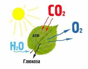 Строение листа и фотосинтез