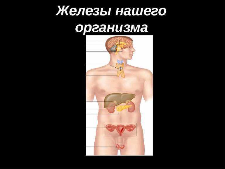 Железы человека
