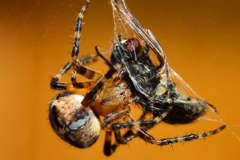 Рацион паука