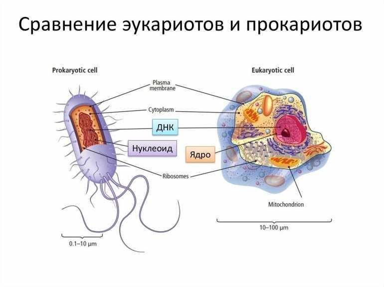 Различия прокариот и эукариот