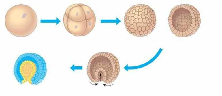 Стадии эмбрионального развития