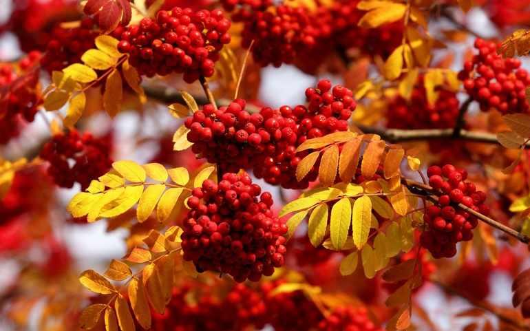 В ноябре самым ярким деревом оказывается рябина