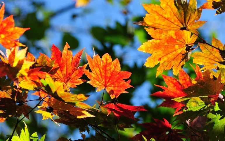 В сентябре листья желтеют и краснеют
