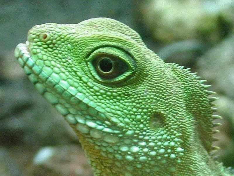 Игуана - представитель земноводных животных
