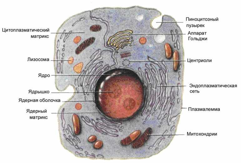 Части эукариотной клетки